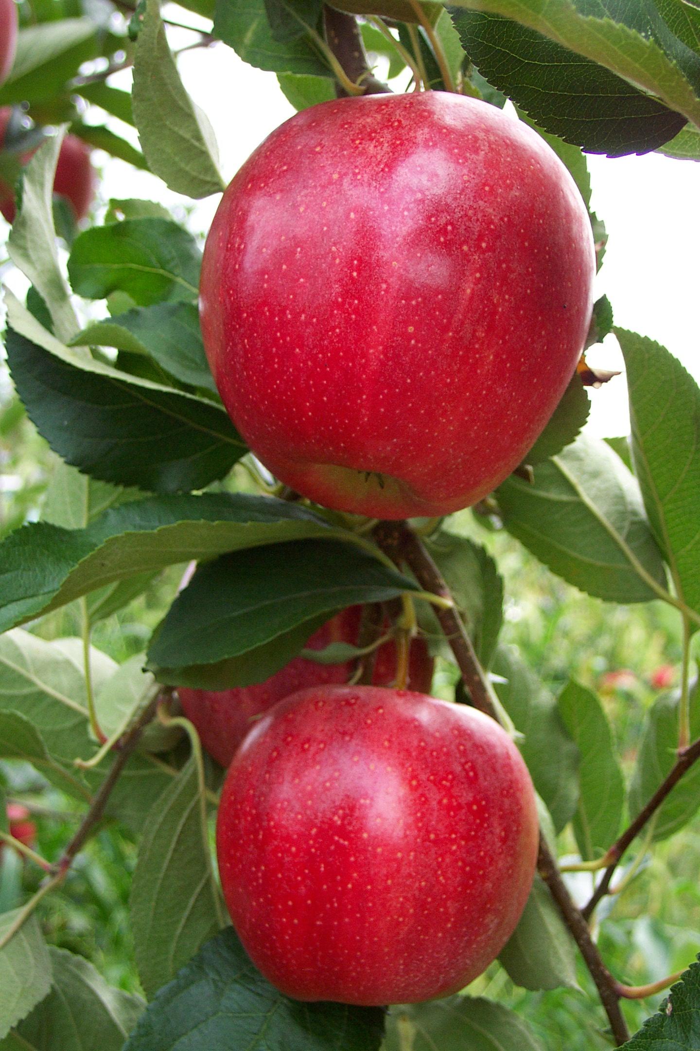 Hrf Apple Varieties Watermelon Wallpaper Rainbow Find Free HD for Desktop [freshlhys.tk]