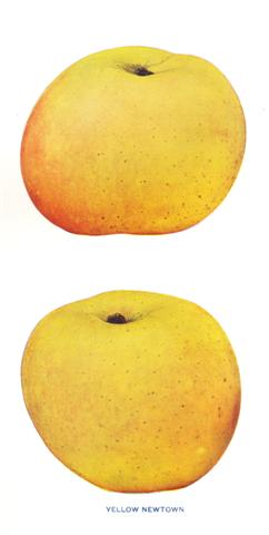 Types Of Yellow Apple's http://www.holyrootfarm.com/HRF_Varieties.html